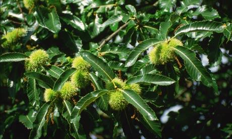 Flores de Bach: Sweet Chestnut